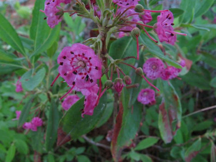 Blossoming sheep laurel. Source: Wikimedia Commons
