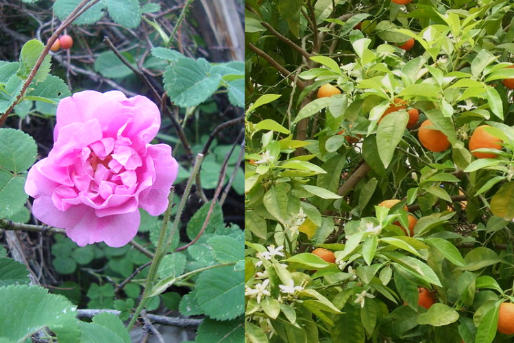 Damas rose and bitter orange flowers are used to produce floral waters (hydrosols) that are highly valued in the perfume and flavor industries. Concentration monitoring of these hydrosols is important. Source: Wikicommons (rose and orange)