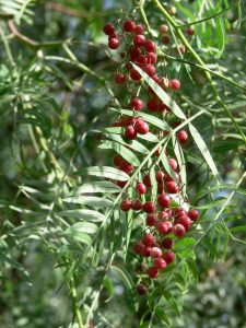 Figure 1. Schinus molle branch and fruits. The resemblance of the latter with peppercorns gave the plant its common, name, but it is unrelated to black pepper. Source: Wikimedia commons.